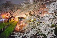 日本各地迎赏樱高峰 繁花